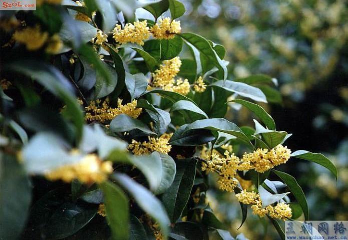 Gui Hua tree