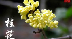 Osmanthus 桂花 Gui Hua flower