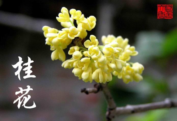 Osmanthus, Gui Hua flower