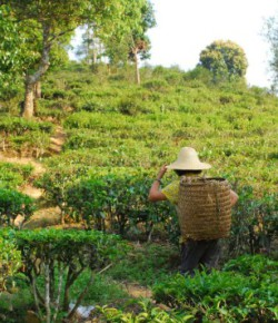 Tea connection, introducing The Tea Urchin
