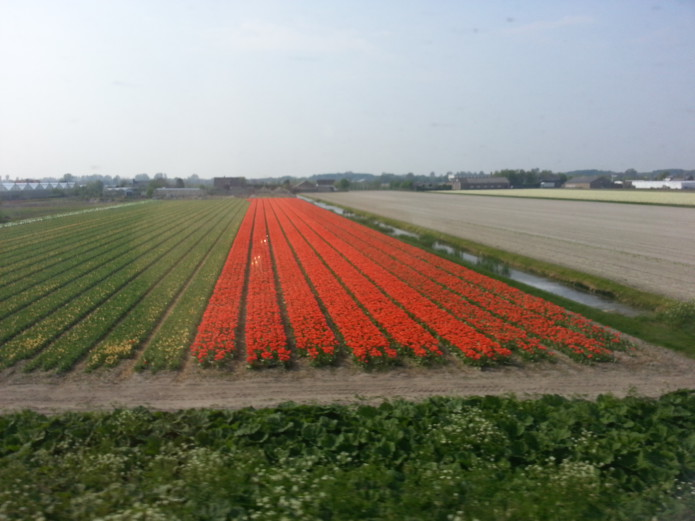 flower bulb fields red and yellow.jpg