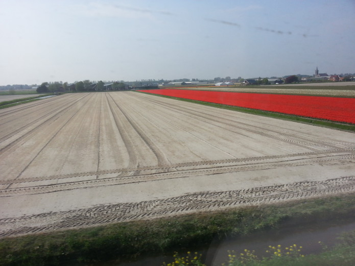 Tulip field cultivation with new bulbs.jpg