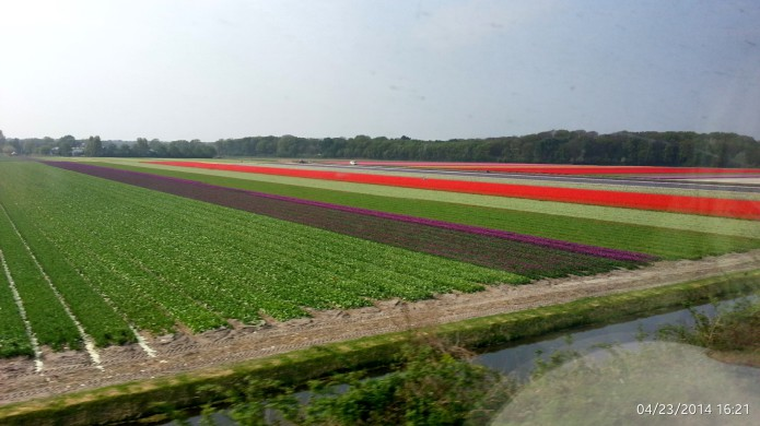Tulip flower bulb fields.jpg